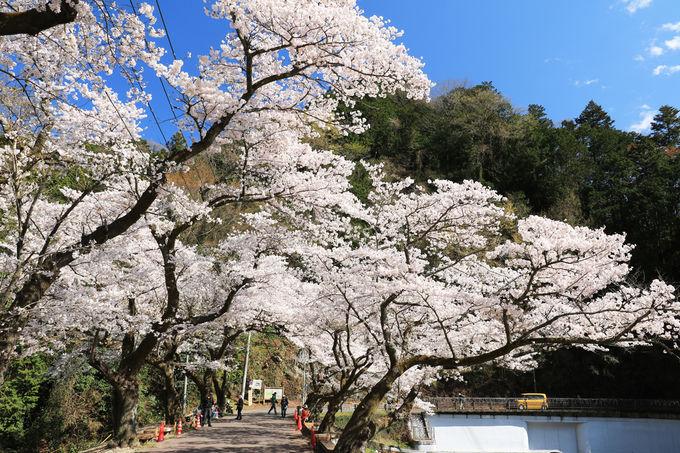 春の鎌北湖は湖と桜並木のコラボが魅力
