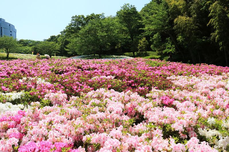 5万本超が咲く圧巻の景観!神奈川「あつぎつつじの丘公園」