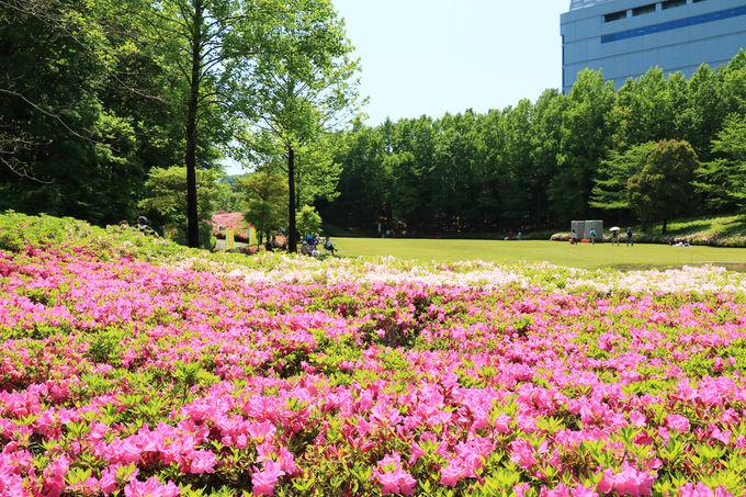 新緑の季節の行楽に!「あつぎつつじの丘公園」に行こう