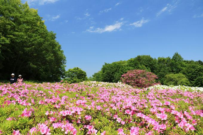 目指せ日本一!?5万本超のツツジが咲く