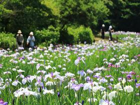 武蔵野の自然溢れる公園で花菖蒲を!埼玉県「智光山公園」