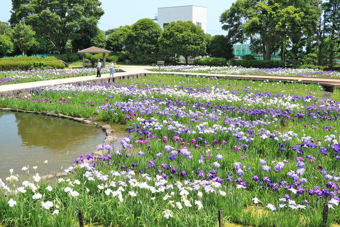 静かさが魅力の水無月園で花菖蒲観賞