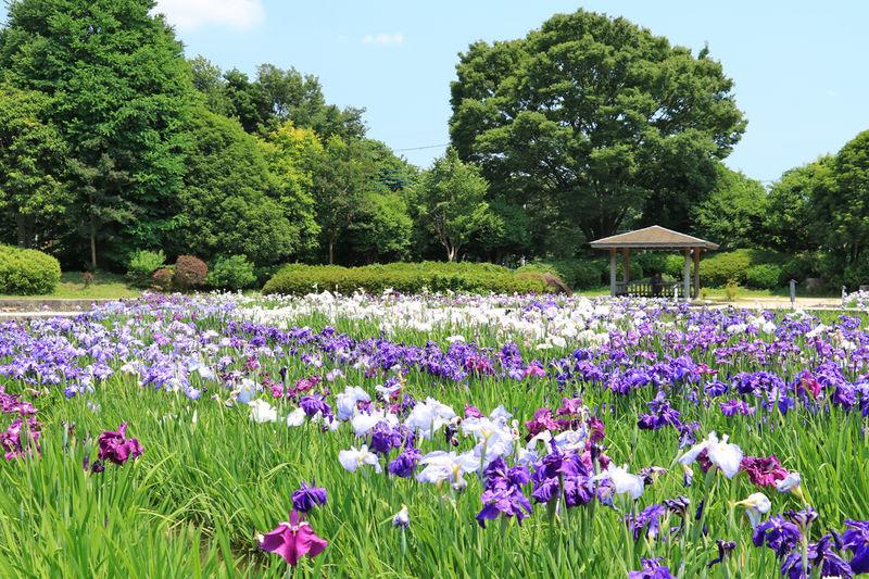 水無月園の花菖蒲が美しい!六月の「神奈川県立相模原公園」