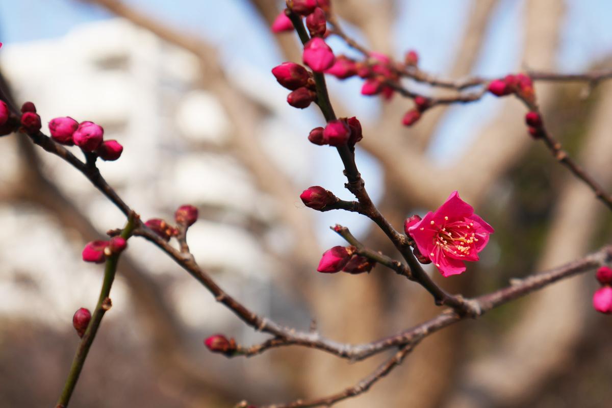 向島百花園で春を探すひととき