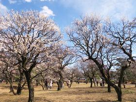 東京郊外で探梅三昧!都立公園の梅林を巡って早い春を探そう