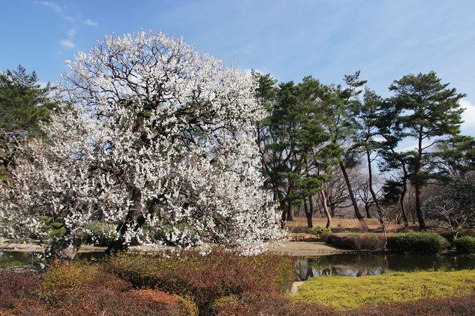 圧巻の景観が楽しめる神代植物公園の梅林