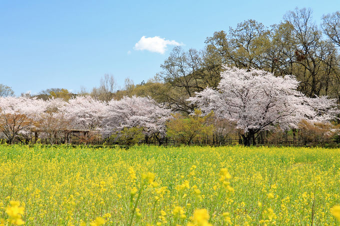 菜の花との競演や日和田山の景色も楽しもう