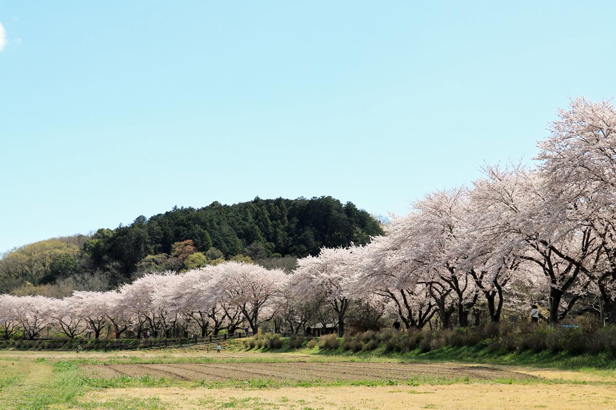 四季折々に楽しめる「巾着田」春は桜が美しい