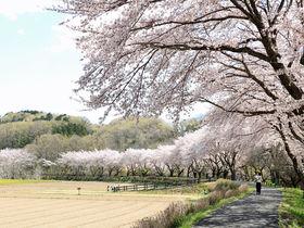曲線を描く桜並木がきれい!埼玉「巾着田」は春景色もお勧め