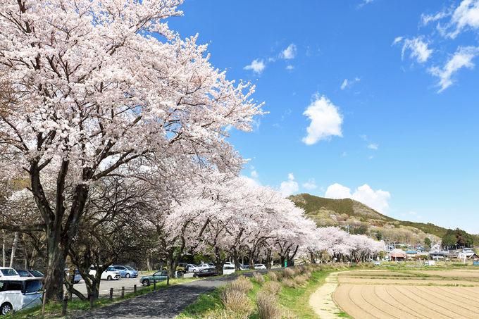堤防道を歩いて桜並木を満喫