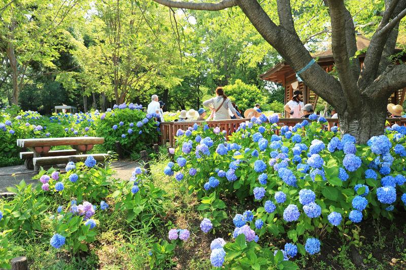 珍しいヤマアジサイも!6月は神奈川県「相模原麻溝公園」へ