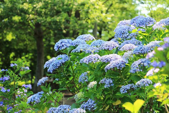のんびりと園内を散策して紫陽花を楽しもう
