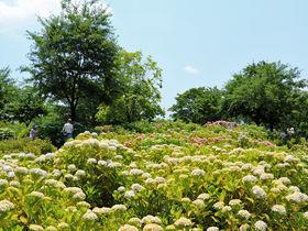 一万株が咲き誇る紫陽花の名所!相模原市「相模原北公園」