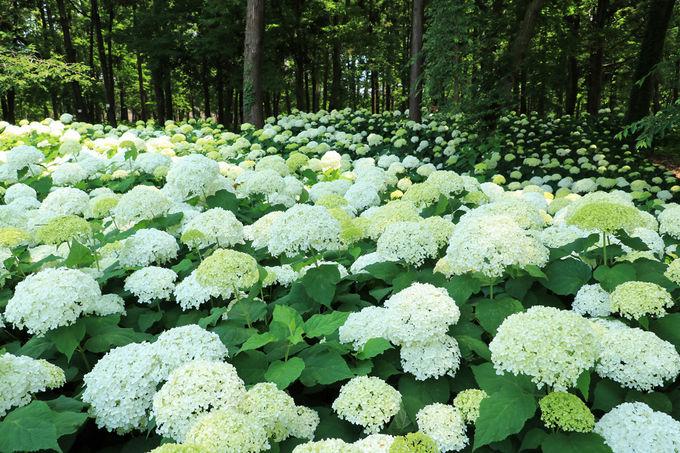 林の中を白く染め上げるアナベルが壮観
