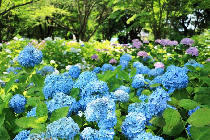 「アジサイの丘」で圧巻の紫陽花を堪能しよう