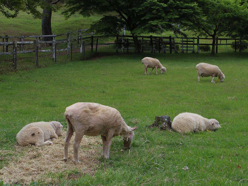 入園料は不要。自然公園「フォレストパーク神野山」にあるヒツジの牧場