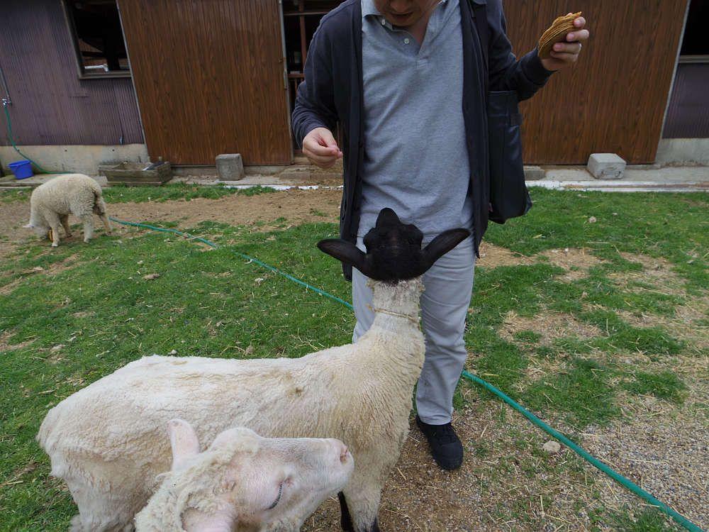 羊せんべい大人気!ヒツジたちが(のんびり)迫ってきます