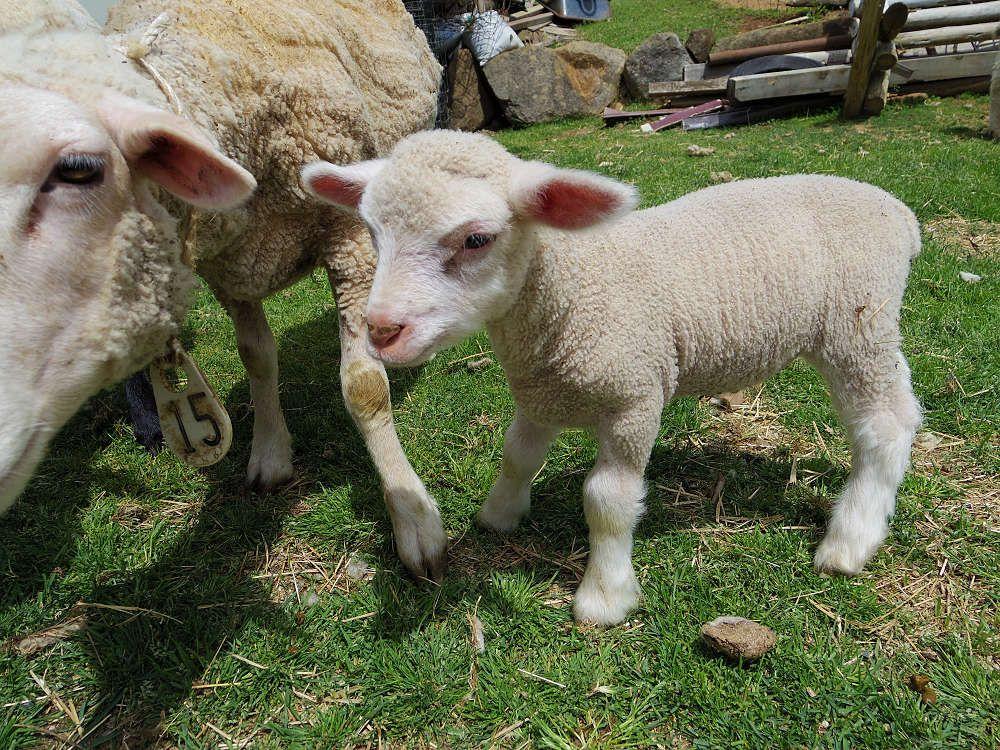 出産シーズンは2月ごろ。春先は小さな子羊たちの姿が