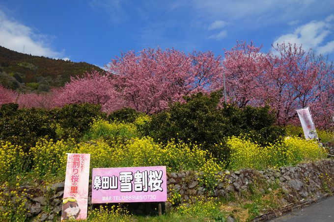 「和」がある桑田山は雪割り桜の里