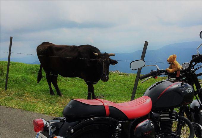 五段高原で四国カルストのアイドル、牛さんを狙ってみる