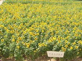 夏休みのお出かけにピッタリ!広島県世羅郡の100万本のひまわり畑とせらワイナリー