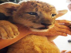 ライオンの赤ちゃんを抱っこ!山口県秋吉台サファリランドで赤ちゃんライオンと仔ライオンに会おう!