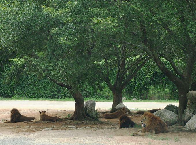 サファリゾーンで見るライオンの群れ「プライド」