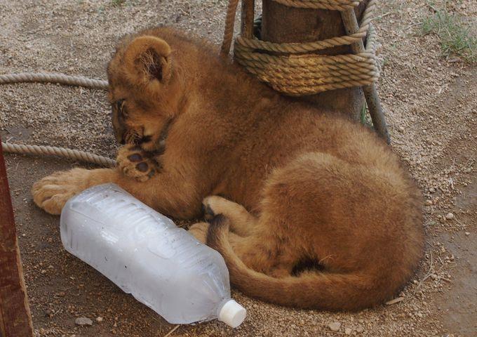赤ちゃんライオンと仔ライオンの違いを見つけてみよう!