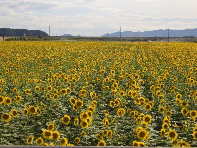 無料で楽しめる、見渡す限りの花畑