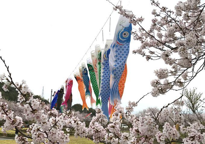 水面に映る桜と鯉のぼり