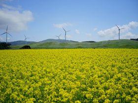 本州一の広さ!青森県横浜町の菜の花畑で春を満喫しよう