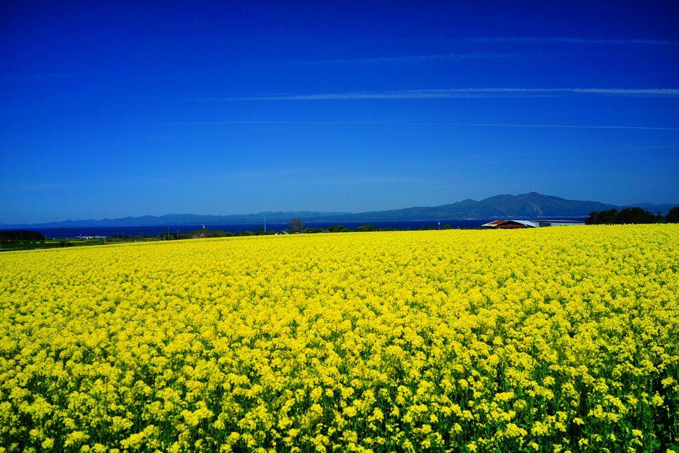 本州一の面積を誇る菜の花畑・青森県横浜町