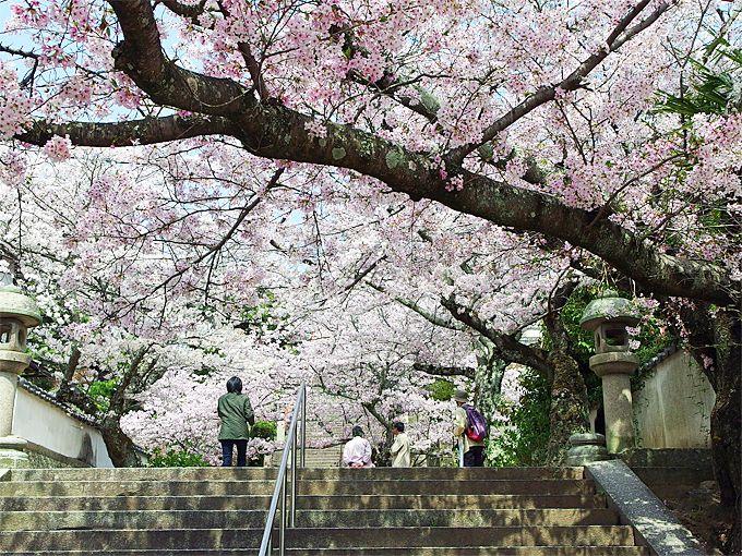 「西國寺」の石段を覆う桜は、溜息ものの美しさ!