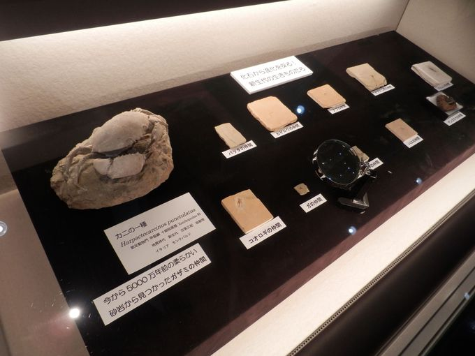こんな珍しいものも!化石類の展示標本