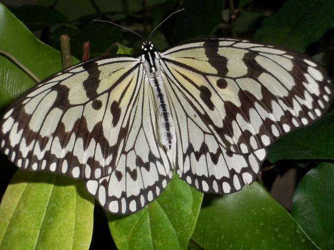日本最大のオオゴマダラも乱舞する「放蝶温室」