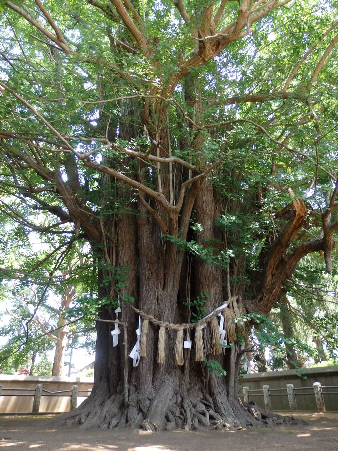 こんな形の巨樹、見たことない!国指定天然記念物の千本公孫樹