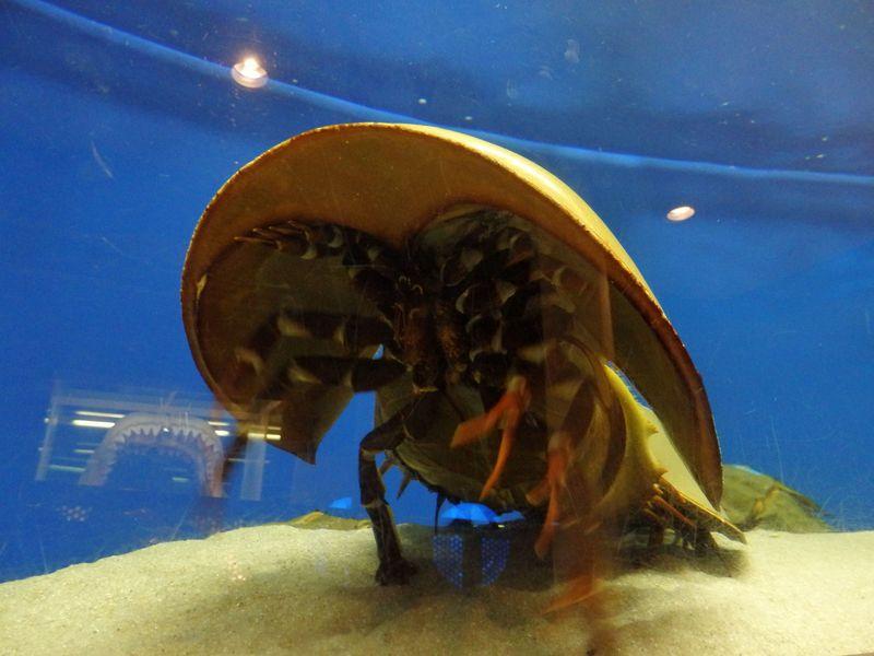 世界で唯一!岡山・笠岡市立カブトガニ博物館で驚異の生態にビックリ!