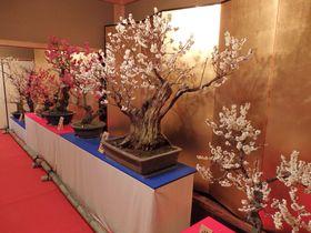 城下町に広がる梅の香り!大和郡山盆梅展で一足早い春を満喫