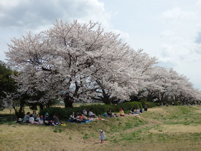 桜を愛でながら敷地内を散策しよう!平城宮跡の桜並木