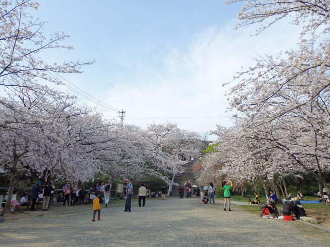 大勢のお花見客を呼び寄せる満開の桜