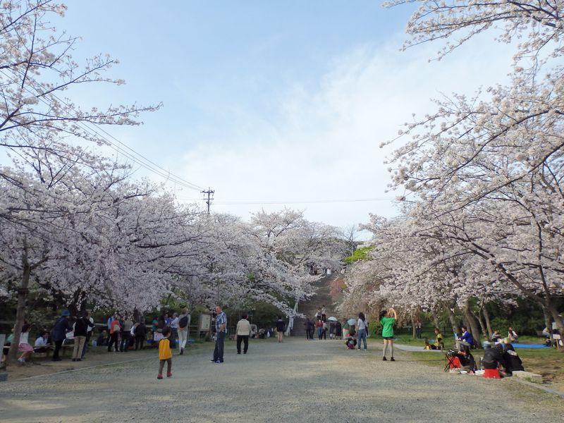 桜といえばやはりここ!福岡きってのお花見スポット・西公園