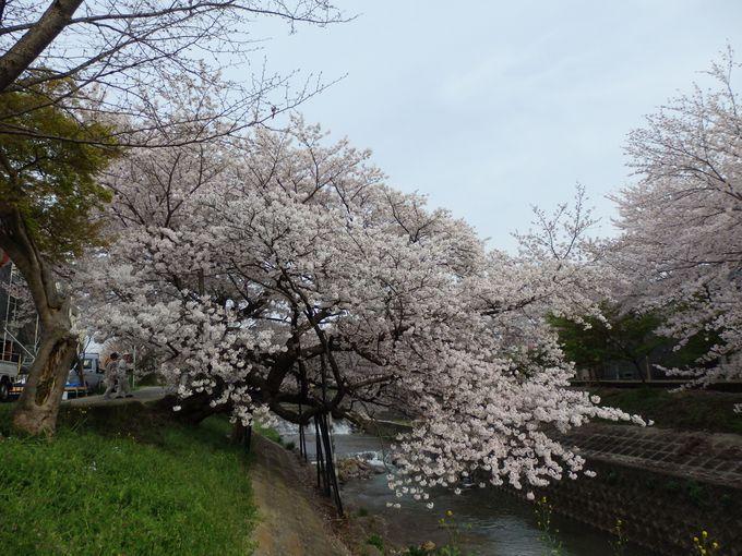 160年の歴史を持つ古木!佐保川の桜並木を代表する「川路桜」