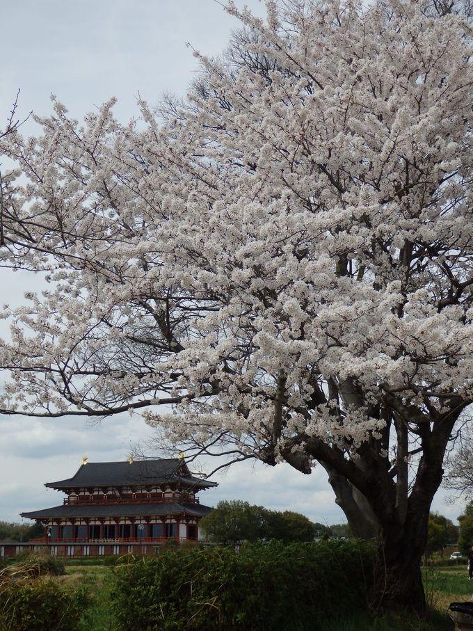 ほかではお目にかかれない光景!復原された宮殿と桜