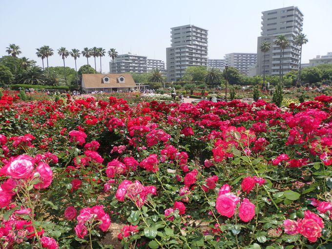 その歴史は半世紀以上!都市公園の一部として整備された谷津バラ園
