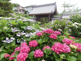 アジサイの隠れスポット、こっそり教えます!奈良市の長弓寺
