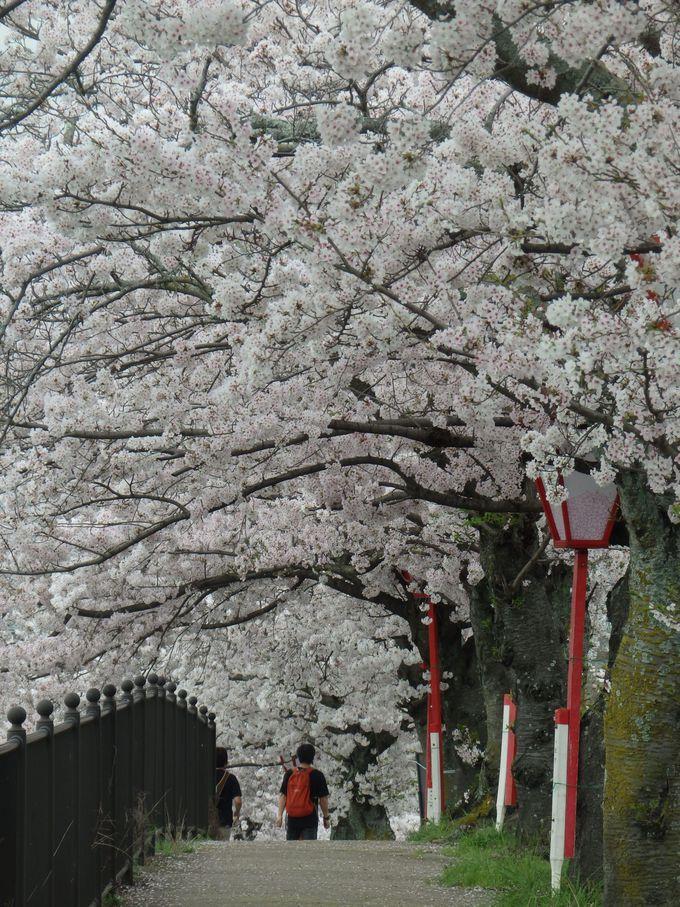 見応え充分!沿道に植えられた桜並木