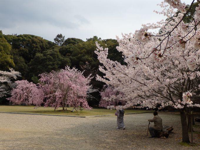 広い境内に植えられたたくさんの桜