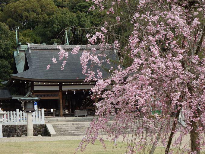 ひときわ目立つしだれ桜と拝殿とのコラボレーション
