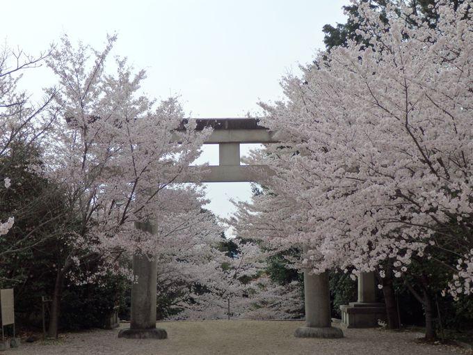 振り返ったら、圧巻!満開の桜並木
