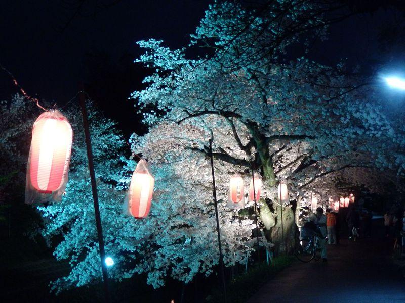 幻想的な艶やかさ!奈良市随一の花見スポット・佐保川の夜桜